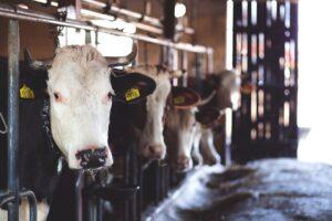 benessere animale mucche - carne - its agroalimentare per il piemonte