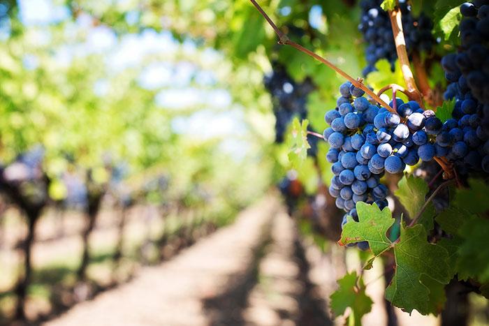 Uva in vigneto - Its Agroalimentare per Il Piemonte
